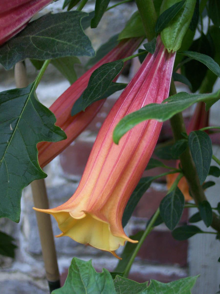 Brugmansia là một loại cây thuộc họ Cà. Nạn nhân dính độc của nó sẽ ở trong trạng thái kích thích tình dục trước khi chết. Ảnh: Zing News Tuy nhiên điều thu hút nhất trong tòa lâu đài này lại chính là khu vườn độc dược đầy