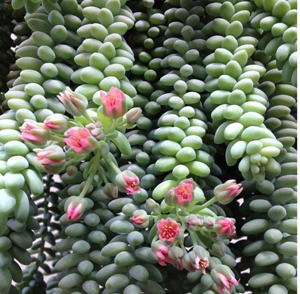 Cây độc: Nên cân nhắc khi trồng chuỗi ngọc treo bởi chất độc trên toàn thân cây
