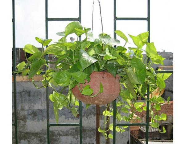 Cây độc: Vì đẹp nên được trồng làm cảnh, nhưng vạn niên thanh có thể gây chết người