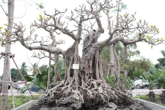 Cây đa cổ có tuổi đời hàng trăm năm, sở hữu vẻ đẹp cổ kính, hình dáng độc đáo