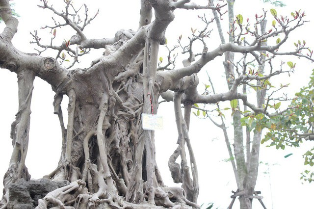 """Trong giới chơi cây, đây được đánh giá là một trong những """"bảo bối"""", cây đa quý hiếm bậc nhất của Việt Nam"""