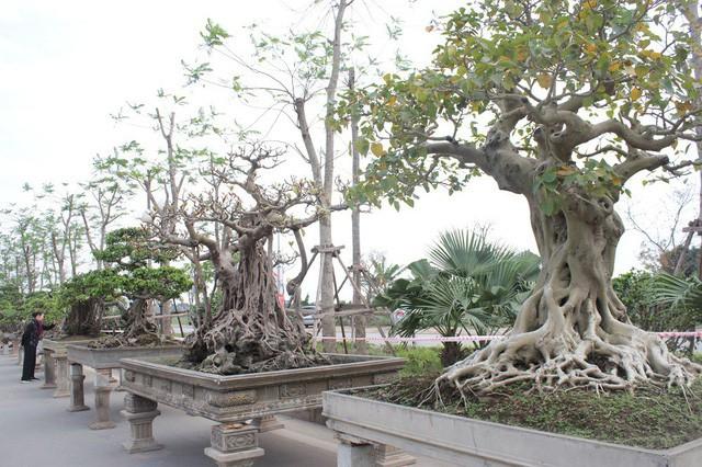 Hiện tại, cây đa cổ thụ này đang được trưng bày tại Triển lãm Sinh vật cảnh huyện Quốc Oai