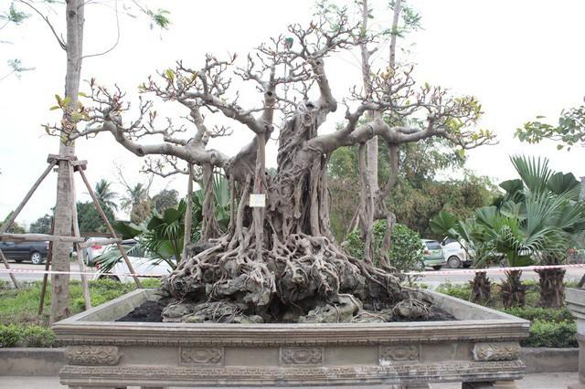 Nhiều người ngỏ ý trả giá cao để mua đứt cây đa cổ nhưng ông Lộc cho biết, chưa có ý định bán