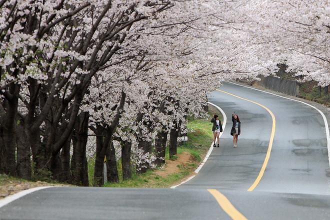 Hàn Quốc đẹp nao lòng khi bước vào mùa hoa
