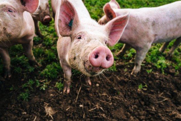 Phát hiện vius gây tiêu chảy ở lợn tương tự như Sars và Mers có thể đe dọa con người