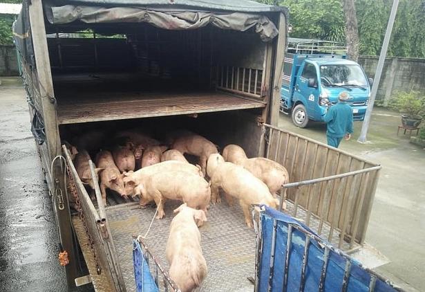 Giá lợn hơi tăng cao gần chạm ngưỡng 60.000 đồng/kg