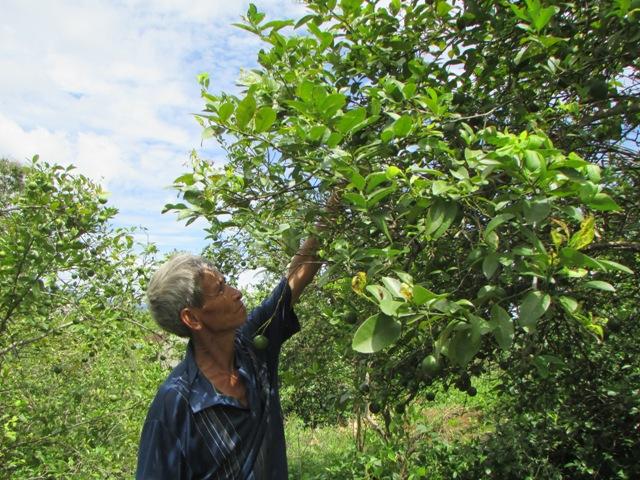 Nghệ An: Giá chanh rớt thảm, nông dân mòn mỏi ngóng thương lái