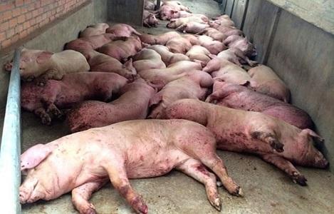 Nóng: Trung Quốc bùng phát dịch tả lợn châu Phi, đe doạ lan rộng