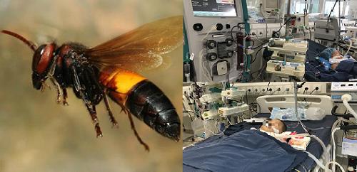 Có thể tử vong từ việc tự xử lý vết ong đốt sai cách tại nhà