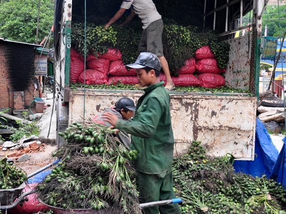Giá cau tươi tăng mạnh, người trồng bội thu