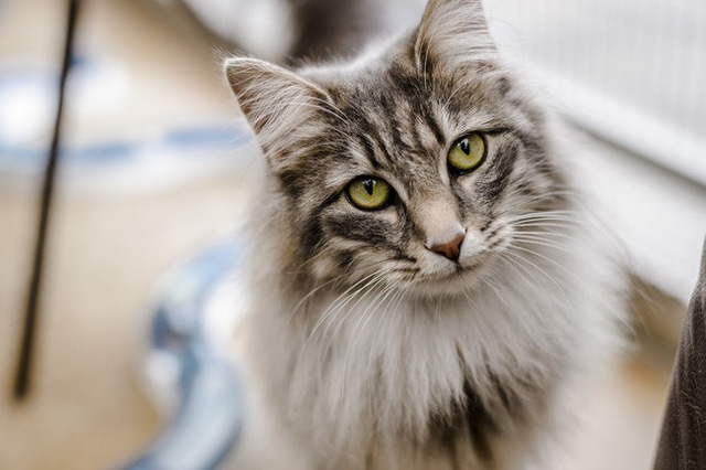Người đàn ông suýt mất mạng vì làm điều này khi nuôi mèo, bác sĩ cảnh báo bệnh nguy hiểm ai cũng cần cảnh giác