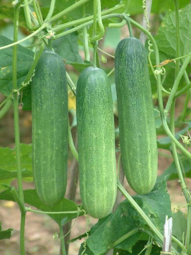 Các loại rau củ quả quen thuộc nhưng dễ ngậm thuốc bảo vệ thực vật