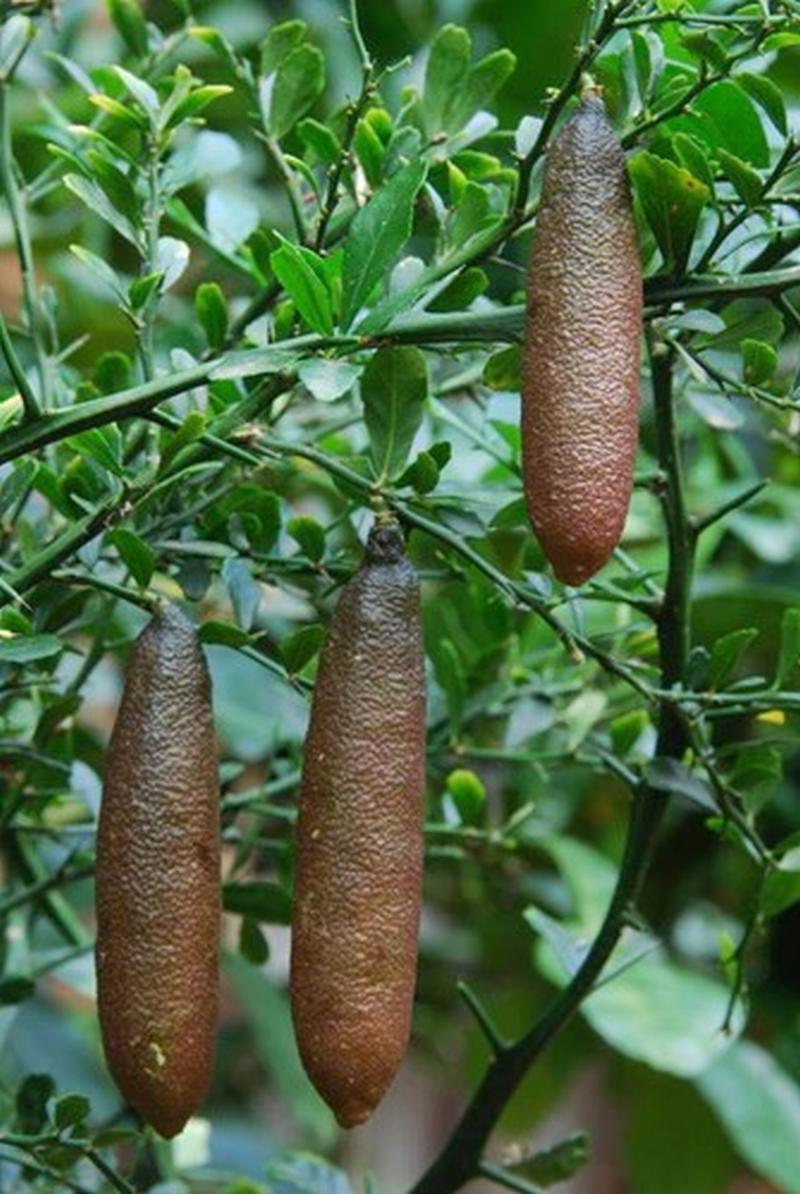 Chanh ngón tay có hương vị lạ giá 3,5 triệu đồng/kg từng suýt bị tuyệt chủngn tranh nhau đặt mua để ăn thử. Nguồn nhập hàng chủ yếu lấy từ Thái Lan, chỉ gần đây giống chanh ngón tay mới bắt đầu được trồng tại các nhà vườn ở Đà Lạt.