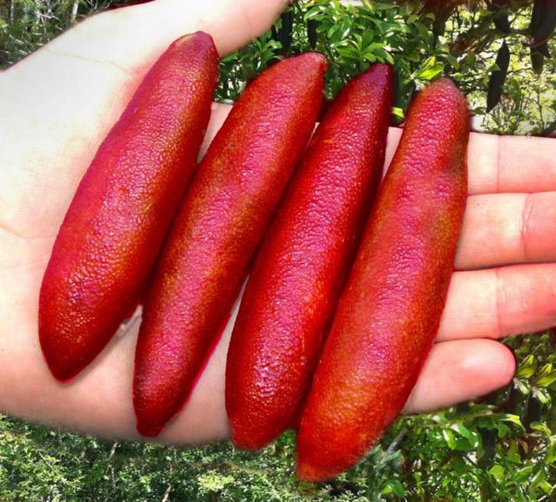 Chanh ngón tay có hương vị lạ giá 3,5 triệu đồng/kg từng suýt bị tuyệt chủng