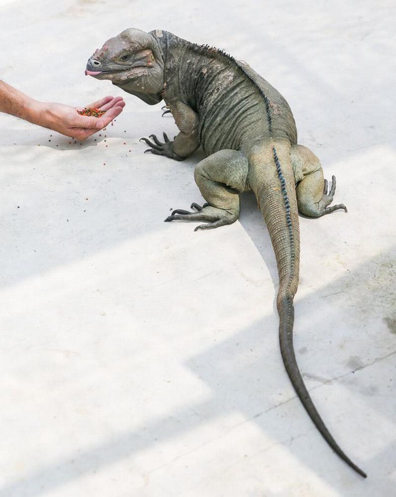 Rồng Nam Mỹ trưởng thành khá nhanh, nuôi hai năm có thể đạt kích thước 150 cm tính từ đầu đến đuôi và nặng hơn chục ký. Con đực dài lớn con cái. Nếu được chăm sóc đúng cách, tuổi thọ của chúng kéo dài từ 15 đến 20 năm.