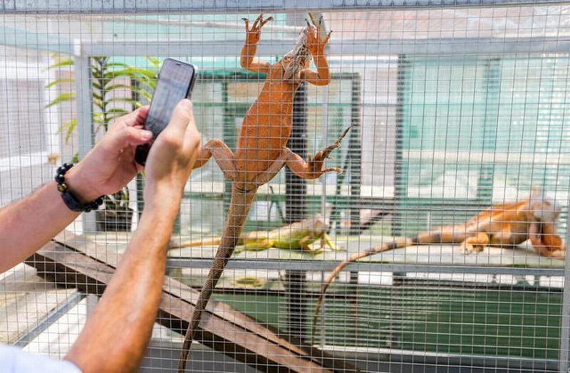Loài này có tên khoa học là Iquana và thường sống ở các khu vực nhiệt đới Trung và Nam Mỹ.