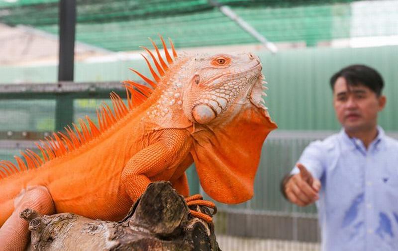 Với 1 cặp, anh Hòa cho nhân giống để chúng có thể sinh sản và phát triển tốt ở môi trường Việt Nam.