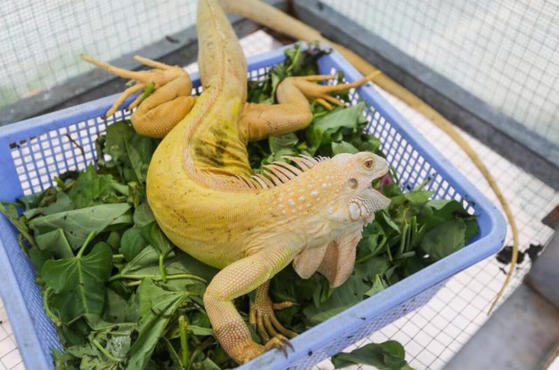 Mỗi chuồng với 3-5 con chỉ cần 1kg thức ăn 1 ngày.