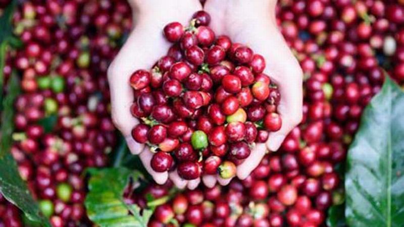 Giá nông sản hôm nay 11/10: Giá cà phê giảm 100-200 đ/kg, giá tiêu tăng 1.000 đ/kg