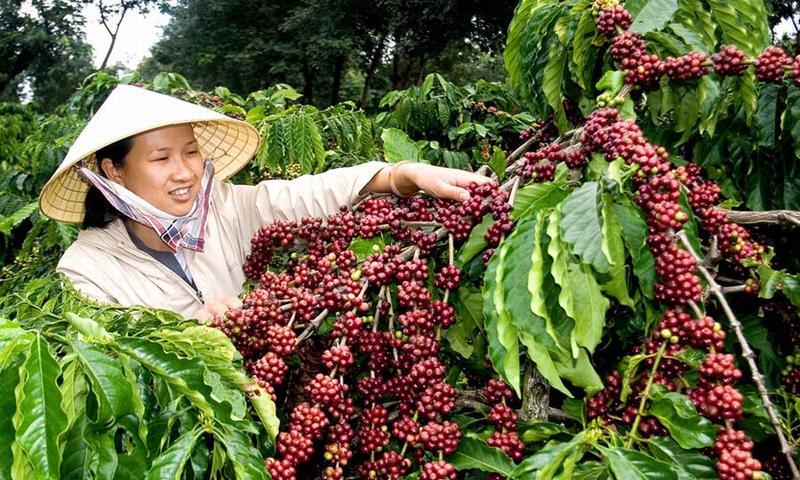 Giá nông sản hôm nay 12/10: Giá cà phê tăng 100-200 đ/kg, giá tiêu tăng nhẹ