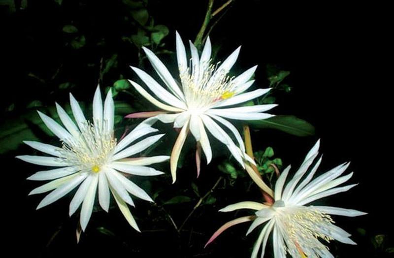 Cũng vì thế, hoa Kadapul dẫn đầu danh sách các loài hoa đắt nhất thế giới, chỉ đơn giản vì chúng là vô giá.