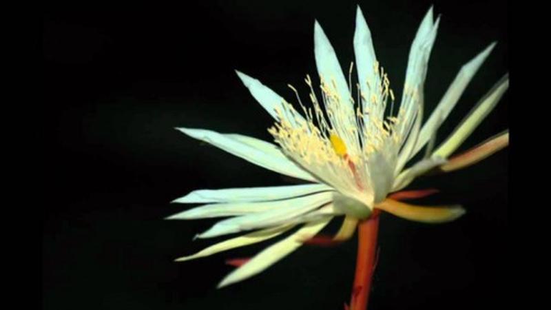 Loài hoa xương rồng chỉ nở vài giờ rồi chết và không thể nuôi trồng trong vườn đắt đến mức... vô giá