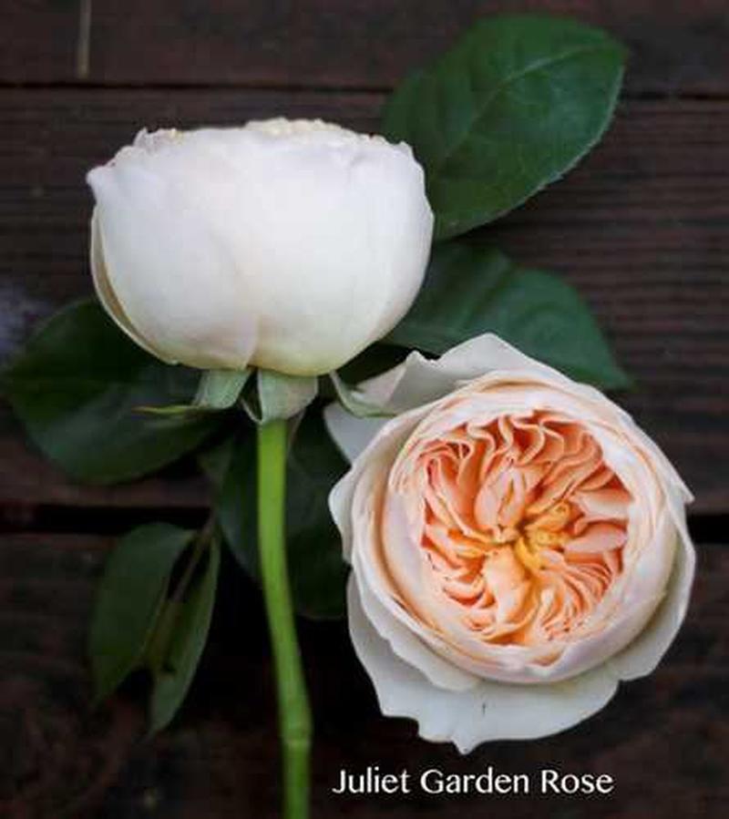 Ngắm bông hồng mang tên nàng Juliet ai cũng mê mẩn vì đẹp, nhưng bán 1 căn biệt thự chưa chắc mua được 1 bông