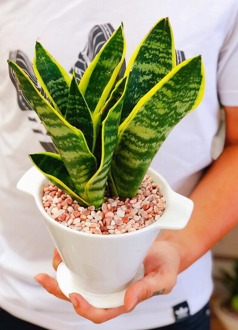 Những loại cây giúp thanh lọc không khí trong nhà cực hiệu quả