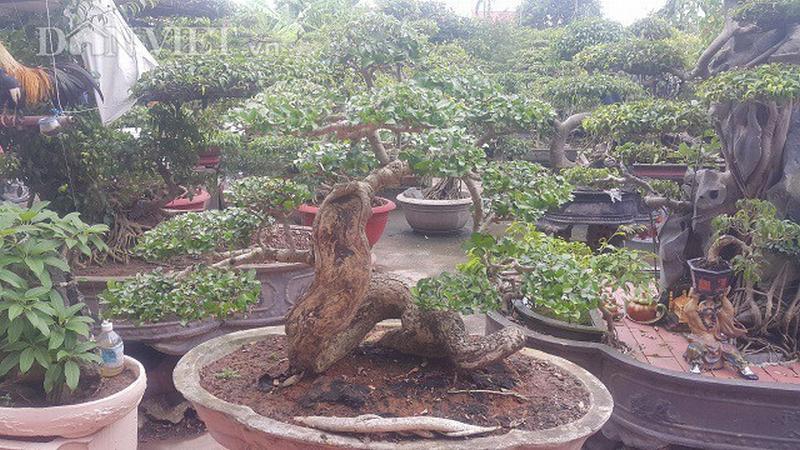 Cây duối độc đáo này của ông Liễn đã có tuổi đời lên tới hơn 50 năm. Phần lõm gồ ghề trên thân cây duối là hậu quả của một thời gian dài ông chủ cũ của cây không chú ý, chăm sóc.