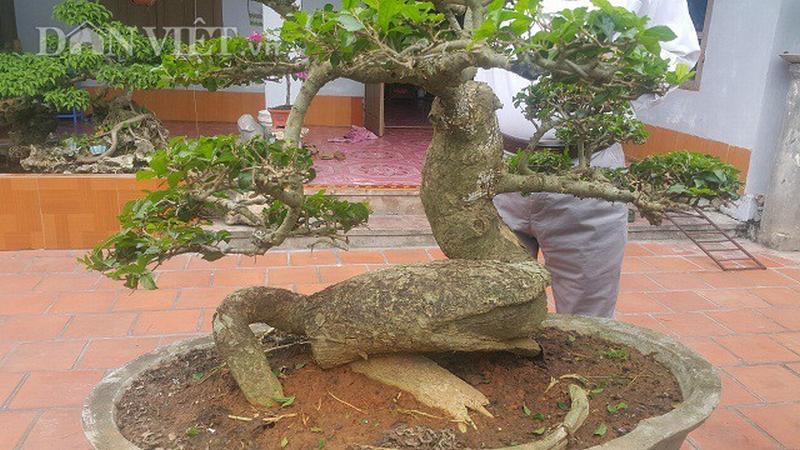 Qua hơn 15 năm chăm sóc và tạo tác thế, dáng cho cây duối lùn, giờ đây ông Tạ Ngọc Liễn rất tự hào bởi mình đang sở hữu 1 cây duối cảnh độc đáo...