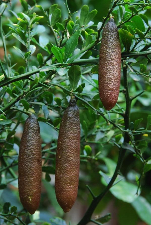 Mách bạn cách trồng chanh ngón tay dễ ợt cho cả nhà thưởng thức